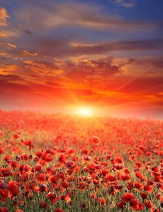 poppy-field-on-sunset-32369757_230X298.jpg